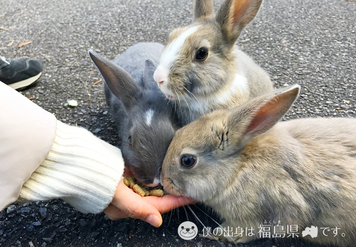 大久野島の手の餌を食べるうさぎ
