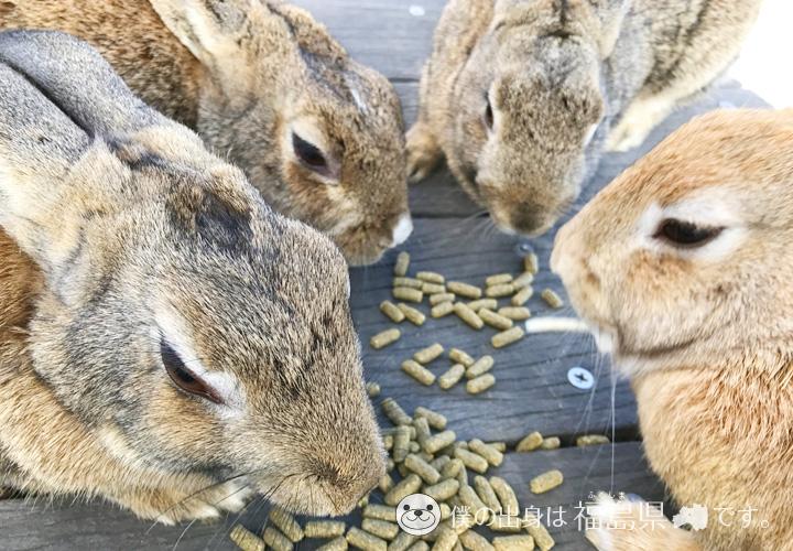 大久野島の餌を分け合う家族うさぎ