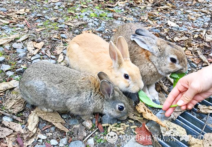 大久野島の葉っぱを食べるうさぎ