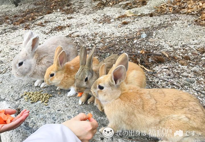 大久野島の人参を食べるうさぎ